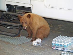 Lake Tahoe Bearcub at Trailer Doorstep