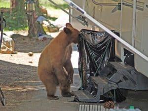 Lake Tahoe Black Bear searching for food
