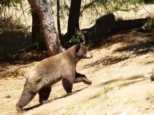 Black Bear South Lake Tahoe Area
