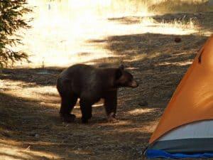 Black Bear At Tent
