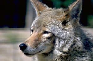 Coyotee
